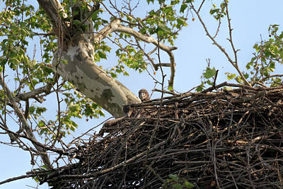 Photograph - Pair Of Nesting Eaglets by Susan Rissi Tregoning