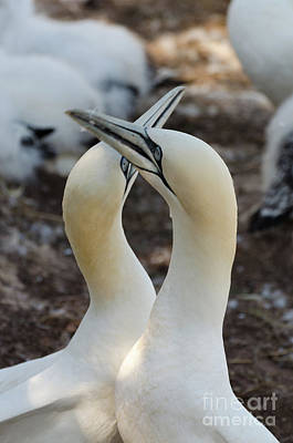 Photograph - Pair Of Northern Gannets by Les Palenik