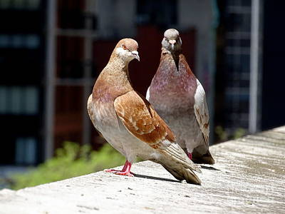 Photograph - Pair Of Pigeons by Ed Weidman