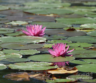 Photograph - Pair Of Pink Pond Lilies by Sandra Day