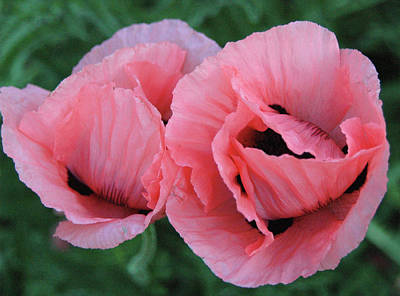 Photograph - Pair Of Pink Poppies by Barbara Jacobs