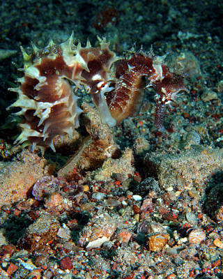 Photograph - Pair Of Red Jayakar's Seahorses, Red Sea, Israel 1 by Pauline Walsh Jacobson