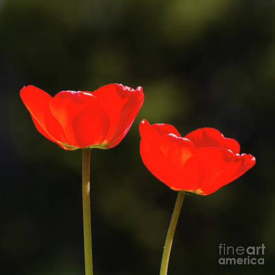 Photograph - Pair Of Red Shiny Tulips by Kennerth and Birgitta Kullman
