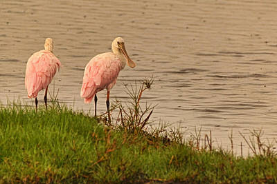 Photograph - Pair Of Roseate Spoonbills by Theo O'Connor