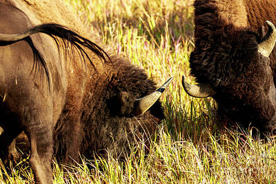 Photograph - Pair Of Sparring Buffalo by Ben Graham