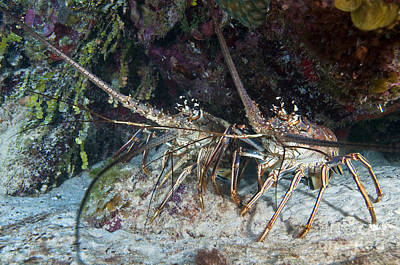 Undersea Photograph - Pair Of Spiny Caribbean Lobsters by Karen Doody