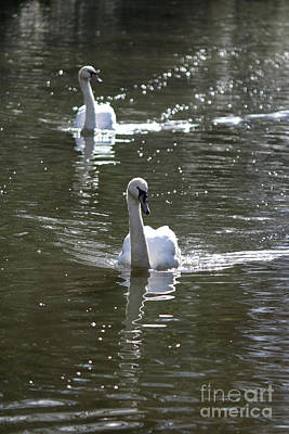 Photograph - Pair Of Swans by Julia Gavin