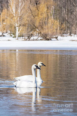 Photograph - Pair Of Swans Portrait by Cheryl Baxter