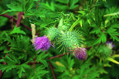 Photograph - Pair Of Thistles by Tikvah's Hope