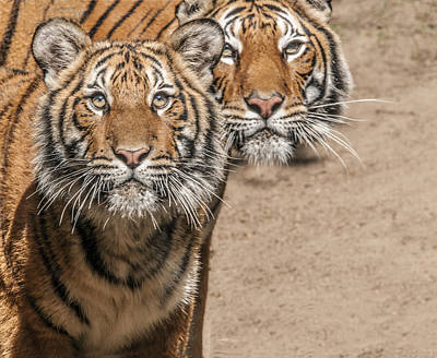 Photograph - Pair Of Tigers by William Bitman