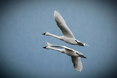 Photograph - Pair Of Tundra Swan by Donald Brown