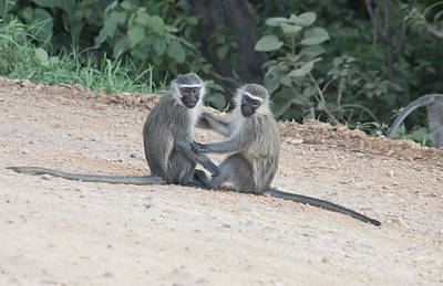 Wilderness Camping - Pair of vervet monkeys, Queen Elizabeth National Park, Uganda by Karen Foley