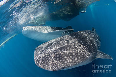 Animals Photos - Pair Of Whale Sharks Barrelling by Mathieu Meur