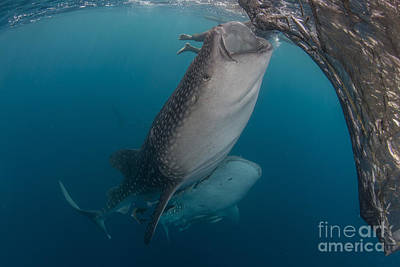 Animals Photos - Pair Of Whale Sharks Sucking At Fishing by Mathieu Meur