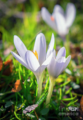 Photograph - Pair Of White Crocuses by Nina Ficur Feenan
