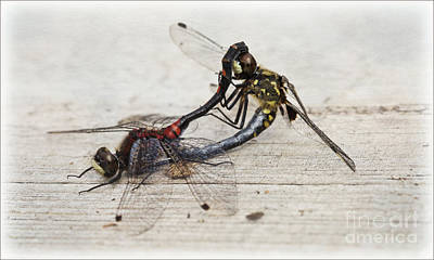 Digital Art - Pair Of White Faced Darters Mating by Liz Alderdice