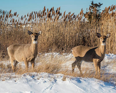 Photograph - Pair Of White Tailed Deer by Cathy Kovarik