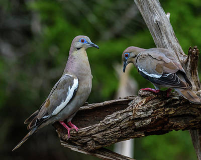 Photograph - Pair Of White-winged Doves by Debra Martz