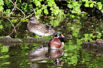 Outdoors Photograph - Pair Of Wood Duck by David Gn