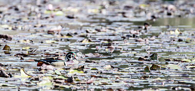Photograph - Pair Of Wood Ducks by Tracy Winter