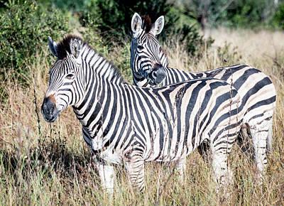 Photograph - Pair Of Zebras by Bob VonDrachek