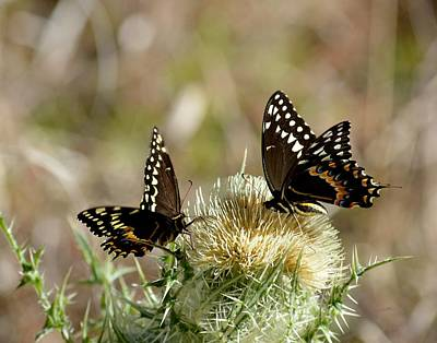 Photograph - Palamedes Swallowtail Butterfly Bull Thistle by rd Erickson
