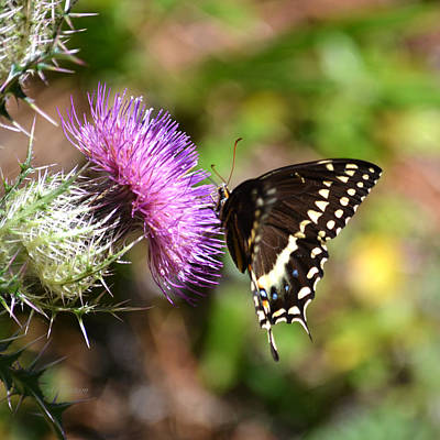 Photograph - Palamedes Swallowtail Butterfly On Purple Thistle by rd Erickson