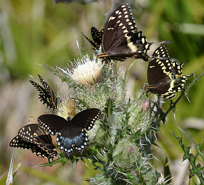 Photograph - Palamedes Swallowtail Butterfly by rd Erickson
