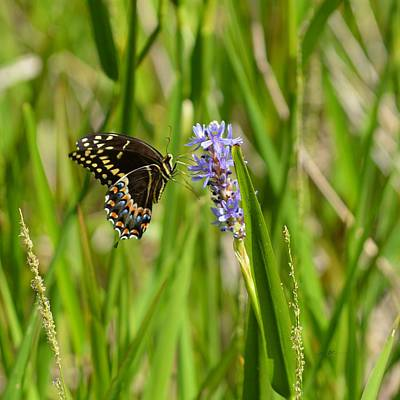 Photograph - Palamedes Swallowtail Butterflyon Pickerel Weed by rd Erickson