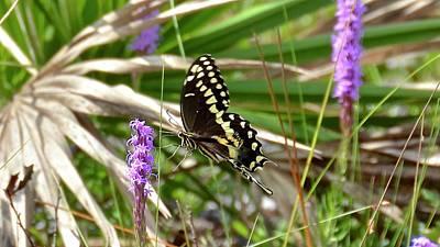 Photograph - Palamedes Swallowtail by Carol Bradley