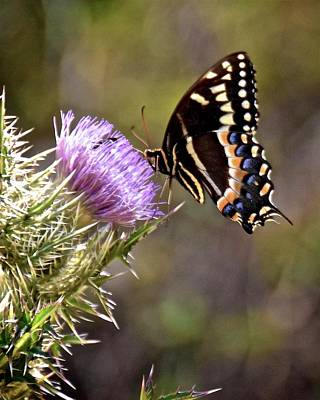 Photograph - Palamedes Swallowtail II by Carol Bradley