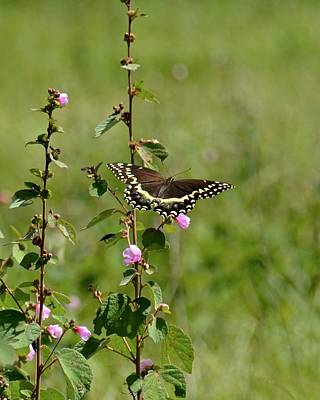 Photograph - Palamedes Swallowtail On Caesar Weed by Carol Bradley
