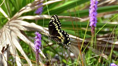 Photograph - Palamedes Swallowtail On Gay Feather by Carol Bradley