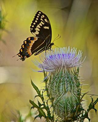 Photograph - Palamedes Swallowtail On Horrible Thistle by Carol Bradley