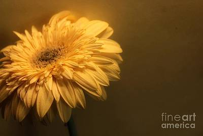 Gerbera Photograph - Pale by Clare Bevan