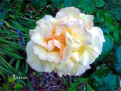 Photograph - Pale Cream-apricot Rose by Sadie Reneau