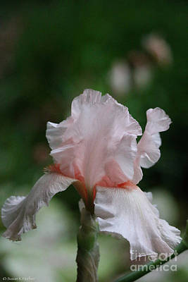 Photograph - Pale Face Iris by Susan Herber