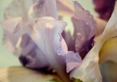 Photograph - Pale Lilac Iris Abstract by Tracey Harrington-Simpson