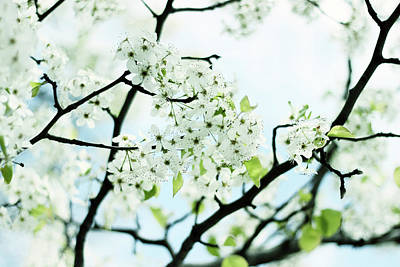 Print featuring the photograph Pale Pear Blossom by Jessica Jenney
