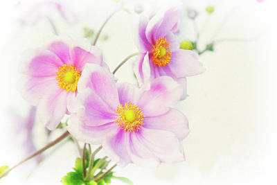 Photograph - Pale Pink Anemone by Jim And Emily Bush