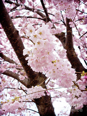 Photograph - Pale Pink Cherry Blossoms by Maria Janicki