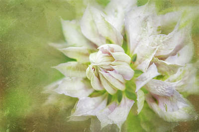 Photograph - Pale Pink Clematis by Belinda Greb