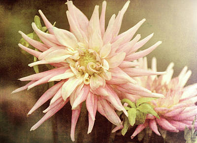 Photograph - Pale Pink Dahlia by Jackie Farnsworth