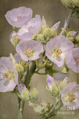Photograph - Pale Pink Globemallow Bouquet by Tamara Becker
