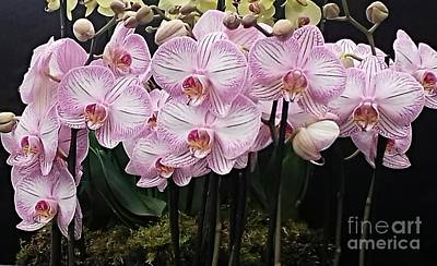 Photograph - Pale Pink Orchids 2 by Joan-Violet Stretch