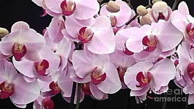 Photograph - Pale Pink Orchids by Joan-Violet Stretch