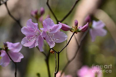 Photograph - Pale Pink Rhododendrons by Maria Urso