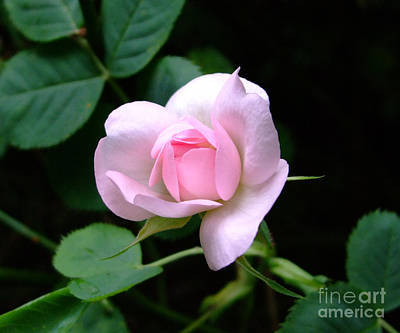 Photograph - Pale Pink Rose by Julia Underwood