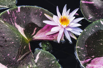 Pale Pink Water Lily Art Print by Lindley Johnson
