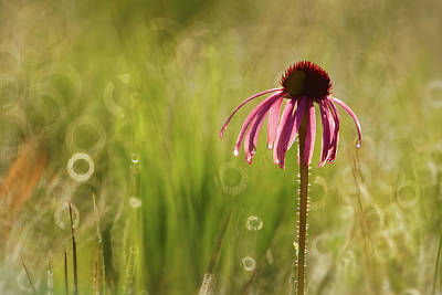 Photograph - Pale Purple Coneflower by Robert Charity